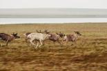 Caribou or reindeer?