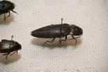 An Unassuming Click Beetle (Elateridae)