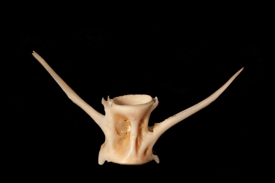 Another fish vertebra