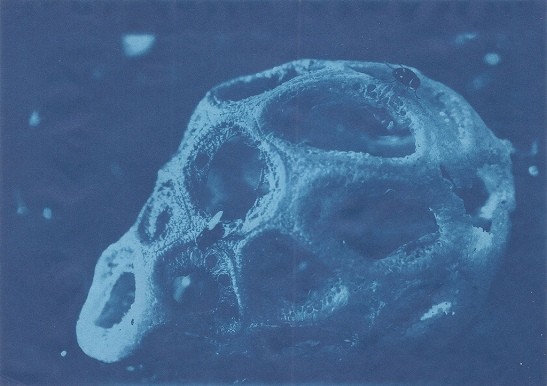 Latticed stinkhorn  (Clathrus crispus) cyanotype