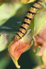 Bella moth caterpillar, Utetheisa ornatrix