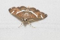 Spoladea recurvalis — Beet Webworm Moth