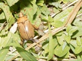 Pelidnota punctata, grapevine beetle
